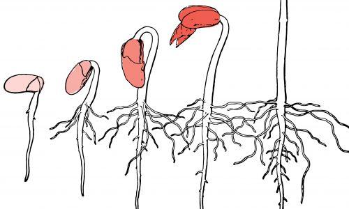 Kurage-illustration_1
